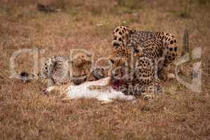 Cheetah and cub eating scrub hare together