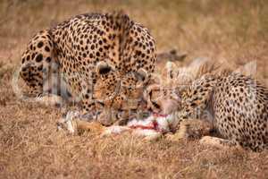 Cheetah and cub feed on scrub hare