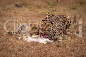 Cheetah and cub feeding on scrub hare