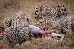 Cheetah and four cubs feed on carcase