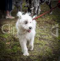 white half-breed Ardennes Bouvier