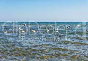 flock of white sea gulls floating on the waves of the Black Sea