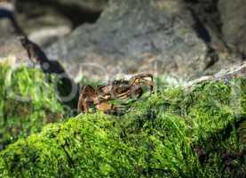 sea crab sits on a rock with green algae