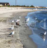 flock of white gulls stands on the sandy shore of the Black Sea