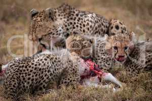 Cheetah and two cubs feed on kill