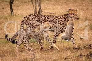 Cheetah carries dead scrub hare beside cub