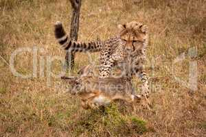 Cheetah cub about to catch scrub hare