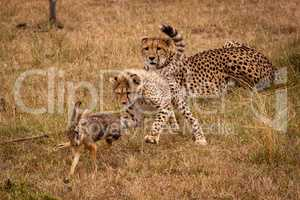 Cheetah cub chases scrub hare by mother