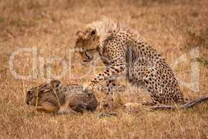 Cheetah cub claws scrub hare in savannah