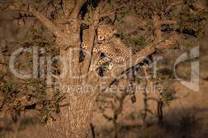 Cheetah cub climbing thorn tree at dawn