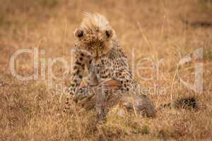 Cheetah cub guarding scrub hare in grass