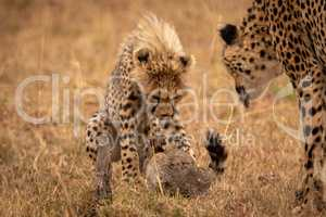 Cheetah cub guards scrub hare with mother