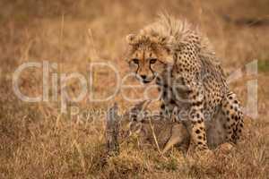 Cheetah cub guards scrub hare in savannah