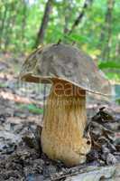 Boletus aereus, the dark cep or bronze bolete mushroom