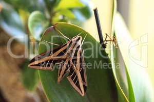Sphinx moth Sphingidae with large wings