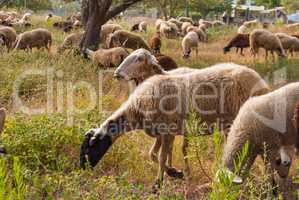 sheep graze under olive trees in a small village in Greece