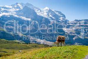 A cow on a mountain pasture in the Swiss Alps