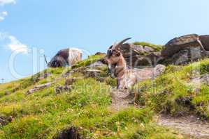 a herd of goats on a steep rocky slope. Grindelwald, Switzerland