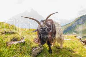 goat on top of a steep rocky slope. Grindelwald, Switzerland