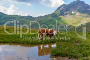 Cows grazing on meadow with mountains in the background. Grindelwald, Bernese Alps, Switzerland Europe