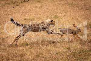 Cheetah cub jumps to catch scrub hare