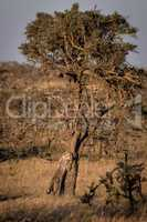 Cheetah cub leaning on tree at dawn