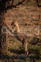 Cheetah cub leans on tree at dawn