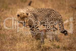 Cheetah cub licks lips at scrub hare