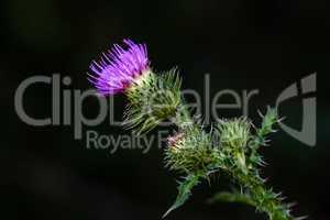 purple prickly Carduus
