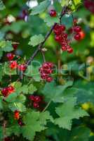 bunches of ripe red currant hang on a branch in the garden
