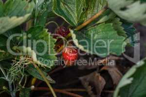 Strawberries growing on a plant close up