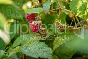 Raspberry bush with berries on branch in the garden