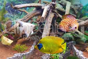 Indoor aquarium. A tropical freshwater aquarium