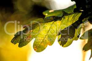 Oak leaf in back light