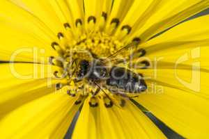 A Honey bee on yellow daisy flower collecting pollen and nectar