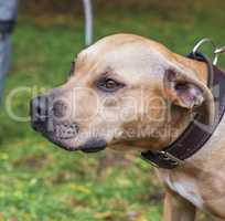portrait brown American pit bull terrier