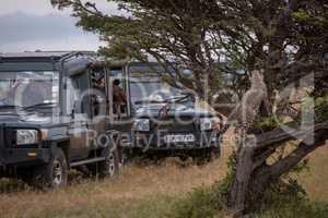 Cheetah cub watches safari trucks from tree
