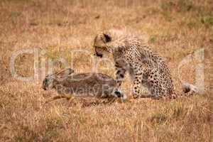 Cheetah cub watches scrub hare on savannah