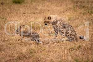 Cheetah cub watches scrub hare run off