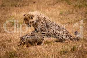 Cheetah cub watching scrub hare in savannah
