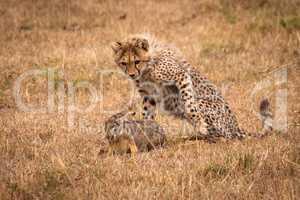 Cheetah cub watching scrub hare on savannah