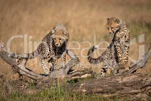 Cheetah cubs balanced on log look down