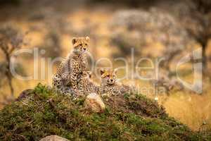 Cheetah cubs in trees on rocky mound