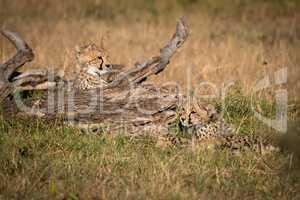 Cheetah cubs lie beside log in grass
