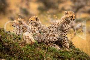 Cheetah cubs look out from rocky mound