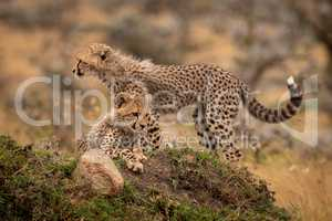 Cheetah cubs lying and standing on mound
