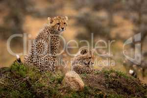 Cheetah cubs sitting and lying on mound