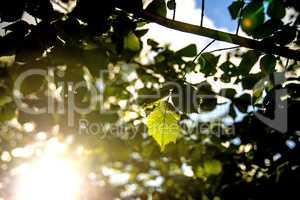 beech leaf in back light