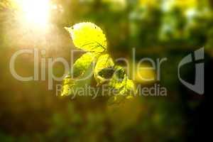 beech leaves in back light