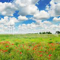 Meadow with wild poppies and blue sky.